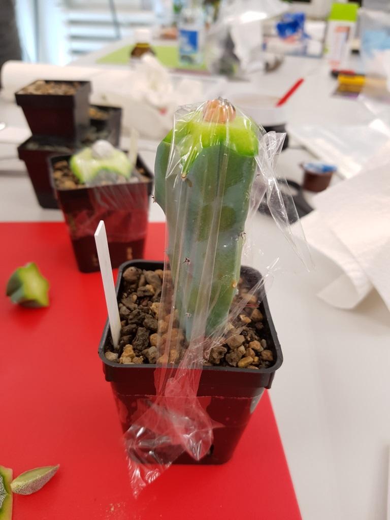 Pfropfung einer Chlorophyll armen Pflanze