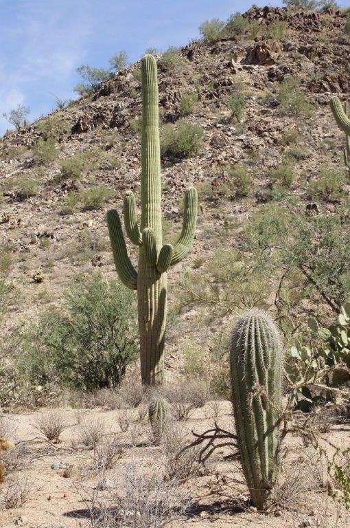 Saguaro Kaktus mit Jungpflanze im Vordergrund